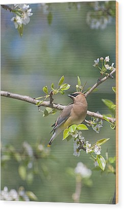 Wood Print featuring the photograph Cedar Waxwing by Margaret Palmer