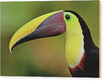 Chestnut Mandibled Toucan Wood Print by Photography by Jean-Luc Baron