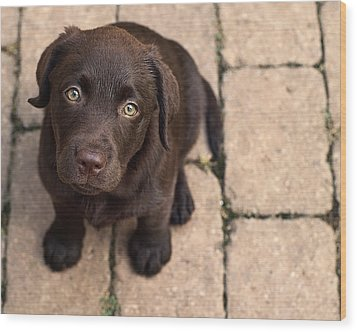 Chocolate Lab Puppy Looking Up Wood Print by Jody Trappe Photography