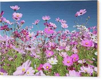 Cosmos Flowers Wood Print by Neil Overy