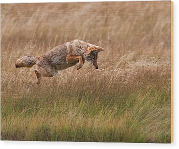 Coyote Leaping - Gibbon Meadows Wood Print by Photo by DCDavis