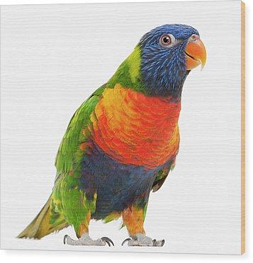 Female Rainbow Lorikeet - Trichoglossus Haematodus Wood Print by Life On White