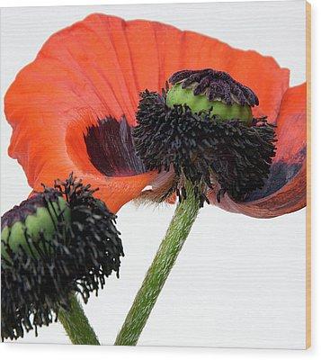 Flower Poppy In Studio Wood Print by Bernard Jaubert