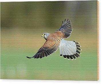 Kestrel Bird Wood Print by Mark Hughes