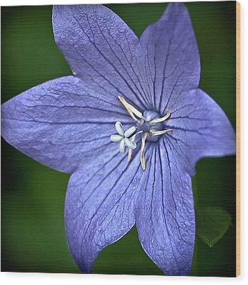 Purple Balloon Flower Wood Print by  Onyonet  Photo Studios