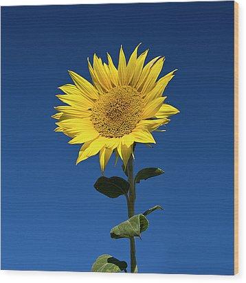 Sunflower Wood Print by Fotografias de Rodolfo Velasco