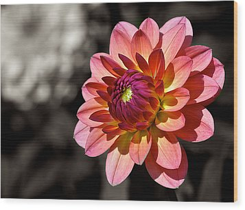 Sunshine Dahlia Wood Print