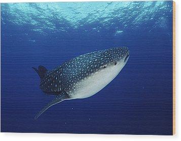 Whale Shark Rhincodon Typus Wood Print by Jurgen Freund