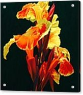 Yellow Cannas Acrylic Print