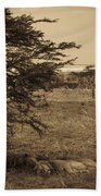 Male Lions Snoozing In Shade Beach Towel