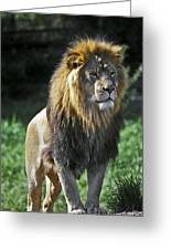 An Alert, Majestic Lion With An Greeting Card by Jason Edwards