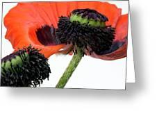 Flower Poppy In Studio Greeting Card
