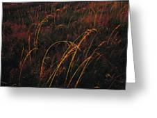 Grasses Glow Golden In Evenings Light Greeting Card by Raymond Gehman
