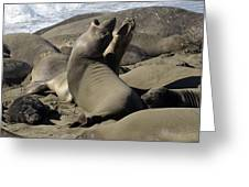 Seal Duet Greeting Card by Bob Christopher