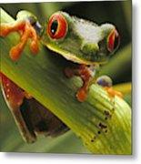 A Red-eyed Tree Frog Agalychnis Metal Print