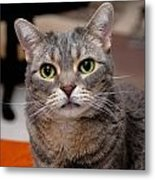 American Shorthair Cat Portrait Metal Print