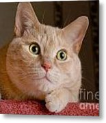 Portrait Orange Tabby Cat Metal Print