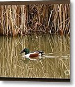 Swimming Among The Reeds Metal Print by Chris Anderson