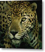 A Jaguar On The Prowl Metal Print by Steve Winter