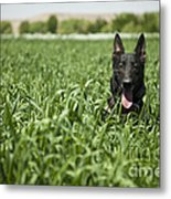 A Military Working Dog Sits In A Field Metal Print by Stocktrek Images