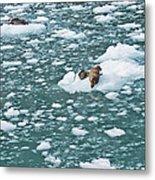 Alaska Seals Metal Print