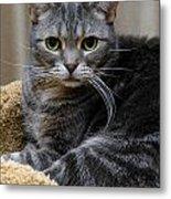 American Shorthair Cat Portrait Metal Print by Amy Cicconi