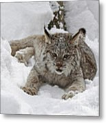 Baby Lynx On A Lazy Winter Day Metal Print