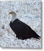 Bald Eagle  Metal Print by Kimberly Maiden