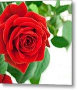 Beautiful Red Roses Flower Metal Print by Boon Mee
