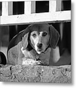 Beware - Guard Beagle On Duty In Black And White Metal Print by Suzanne Gaff