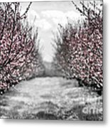 Blooming Peach Orchard Metal Print