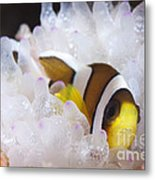 Clarks Anemonefish In White Anemone Metal Print