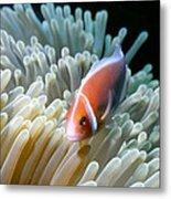 Clownfish 9 Metal Print