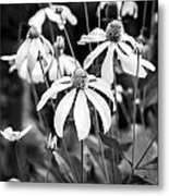 Coneflowers Echinacea Yellow Bw Metal Print by Rich Franco