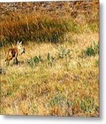 Coyote Catch Metal Print by Rebecca Adams