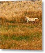 Coyote Pup Metal Print by Rebecca Adams