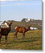 Elk Feeding Metal Print by Rebecca Adams