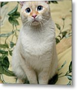Flame Point Siamese Cat Metal Print by Amy Cicconi