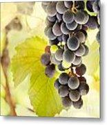 Fresh Ripe Grapes Metal Print by Mythja  Photography
