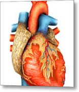 Front View Of Human Heart Metal Print by Stocktrek Images