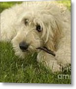 Goldendoodle Pup With Stick Metal Print by Anna Lisa Yoder