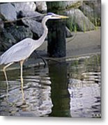 Great Blue Heron - Mealtime Metal Print
