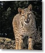 G&r.grambo Mm-00006-00275, Bobcat On Metal Print