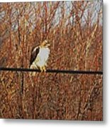 Hawk #22 Metal Print by Todd Sherlock