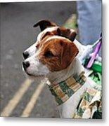 Jack Russell Terriers Metal Print