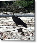 Juvenile Turkey Vulture Metal Print