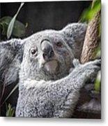 Koala Bear Metal Print by Tom Mc Nemar