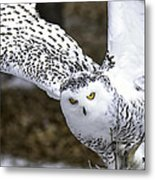 Landing Of The Snowy Owl Where Are You Harry Potter Metal Print