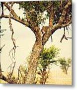 Leopard Eating His Victim On A Tree In Tanzania Metal Print