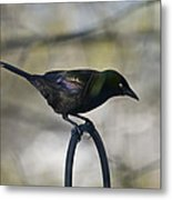 Mean Mr. Grackle Metal Print by Ross Powell